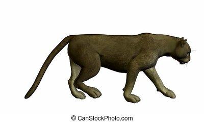 Grey Puma Walking - Grey puma walking on a white background