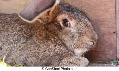 grey rabbit closeup