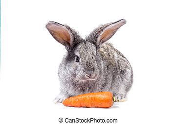 grey rabbit isolate with carrots,