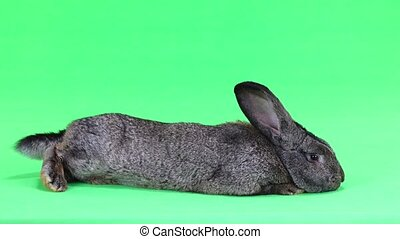 grey rabbit isolated on green screen(ten months old) studio...