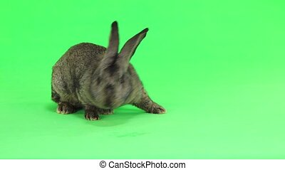 grey rabbit moves isolated on green screen(ten months old)...