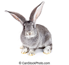 Grey rabbit on white background