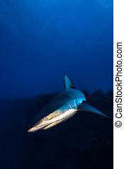 Grey Reef Shark encounter.