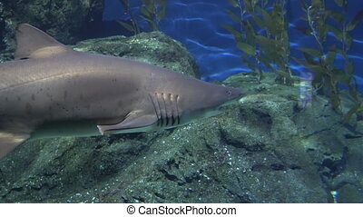 Grey reef shark with a large jaw and strong fins hunts near the rocks. Predator in underwater environment