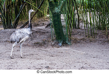 grey rhea walking in the sand, big flightless bird from ...