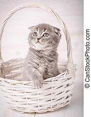 Scottish Fold Kitty looks out of a wicker basket
