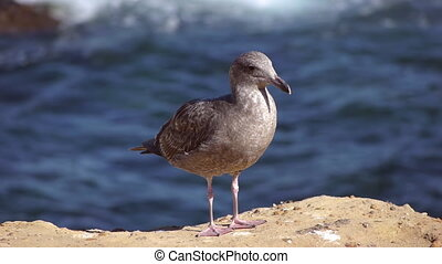 Grey Seagull  - Grey Youngster Seagull