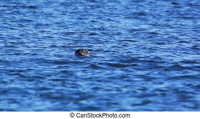 grey seal looking out of the water