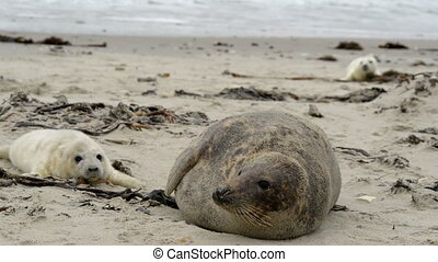 grey seal mother with pup