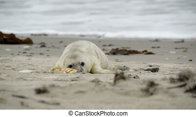 grey seal pup playing