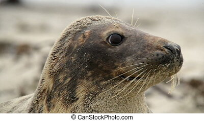 grey seal super close