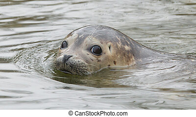 Grey seal swimming - Young grey seal swimming in the water