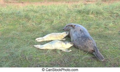 Grey Seal moter nursing her twin pups