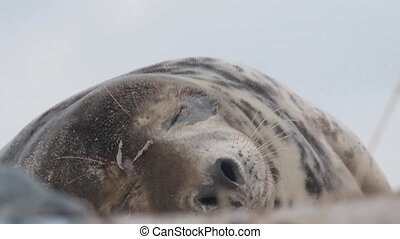 Grey SealGrey Seal