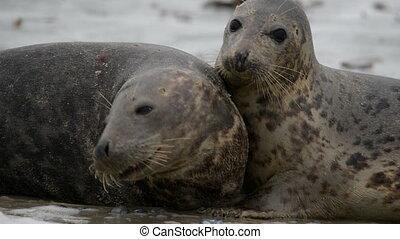 grey seals during mating ritual - Grey seals during mating...