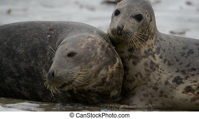 grey seals during mating ritual - Grey seals during mating...