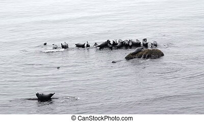 grey seals group on rock Gaspesie Quebec Canada video
