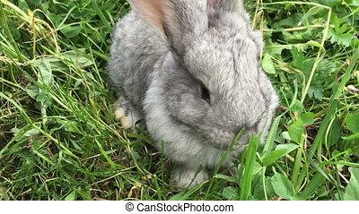 Grey small rabbit
