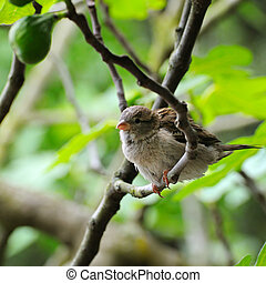 Grey sparrow on a tree branch. Focus on the bird. Shallow depth of field.