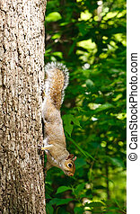 Grey Squirrel Climbing Down Tree in Forest