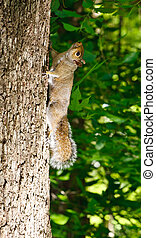 Grey Squirrel Climbing up a Tree in the Forest