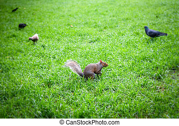 Grey squirrel in a park