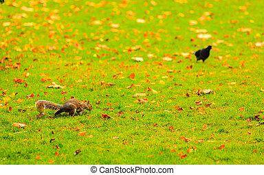 grey squirrel in autumn park