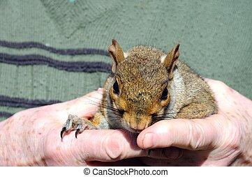 Grey squirrel in hands.