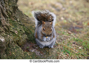 Grey Squirrel in the forest