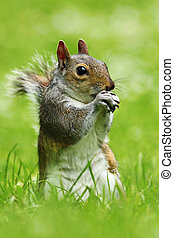 grey squirrel in the park
