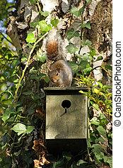Grey Squirrel on a bird box
