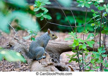 Grey Squirrel on Log