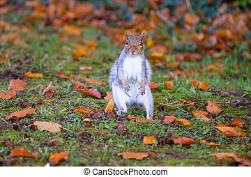 Grey squirrel on the grass