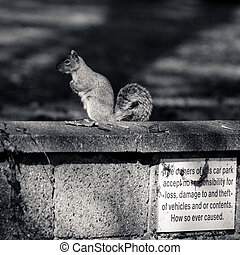 Grey squirrel on the wall