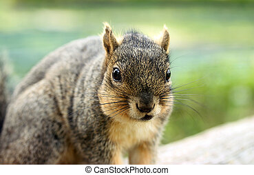Grey Squirrel Portrait