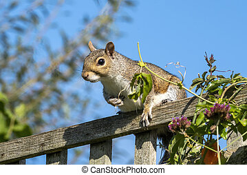 Grey squirrel (Sciurus carolinensis) a wild tree animal rodent on a garden fence which are mostly found in a wildlife woodland forest, stock photo image