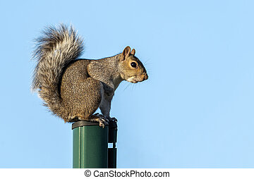 Grey squirrel (Sciurus carolinensis) a wild tree animal rodent on a green pole which are mostly found in a wildlife woodland forest, stock photo image