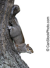 Grey squirrel, Sciurus carolinensis, single animal climbing down a tree