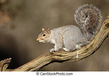 Grey squirrel, Sciurus carolinensis, single mammal on...