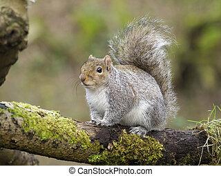 Grey squirrel, Sciurus carolinensis, single mammal on...