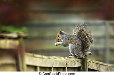 Grey squirrel sitting on a wooden fence and eating nut