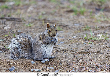 Grey Squirrel sitting on the grass