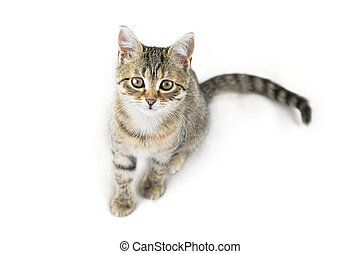 Grey tabby cat on white background. Adorable pet looking at the camera.