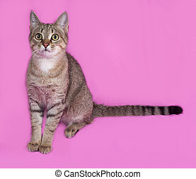Grey tabby cat sitting on pink