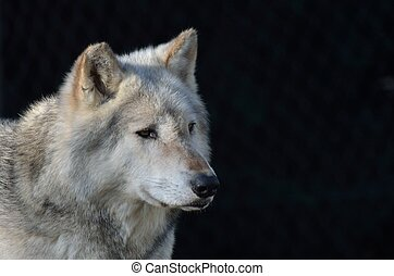 timber wolf - Grey timber wolf