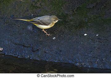 Grey wagtail (Motacilla cinerea) - A grey wagtail is...