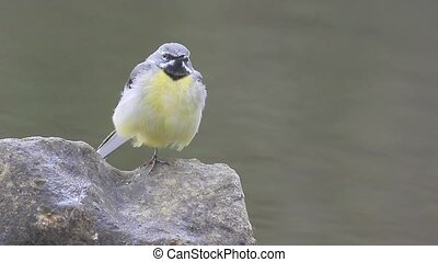 Grey wagtail, Motacilla cinerea, male on rock, Warwickshire,...