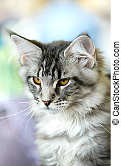 grey-white, tabby, chat coon maine