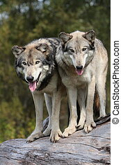Grey wolf, canis lupus, portrait in natural setting