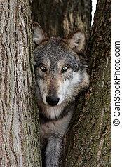 Grey Wolf Canis Lupus - Grey wolf, canis lupus, portrait in ...